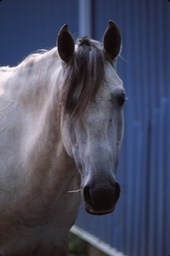 What fever means - EQUUS Magazine   The Natural Horse   Scoop.it