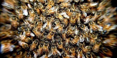 Comment se portent nos abeilles ? [vidéo] - Le Monde | Graines de doc | Scoop.it