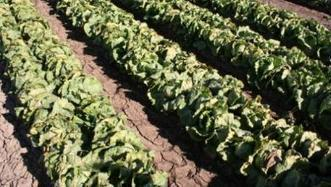 Arizona Veg IPM Update: Western flower thrips, plant disease, pre-emergent herbicides | Western Farm Press | CALS in the News | Scoop.it