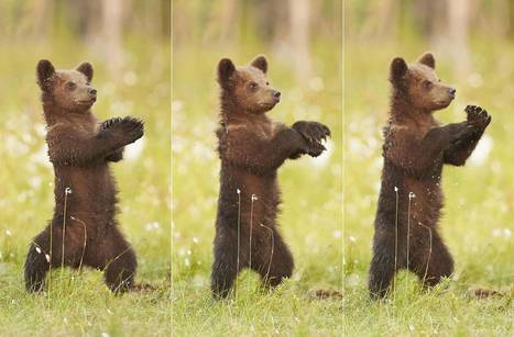 Bear cub photographed dancing Gangnam Style in Finland | Finland | Scoop.it
