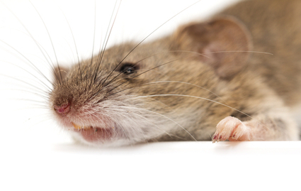 Yogurt-eating mice found to have larger testicles | Rodent Models In Research | Scoop.it