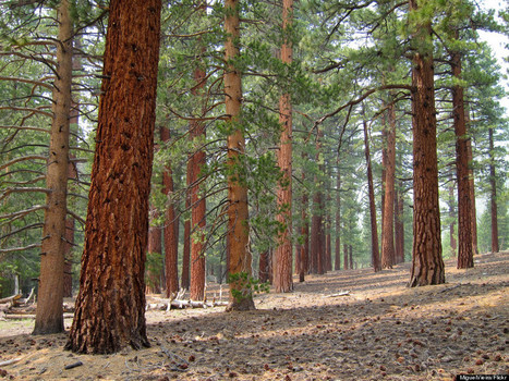 California's Forests Have Lost Half Their Big Trees, And Climate Change May Be To Blame | The Blog's Revue by OlivierSC | Scoop.it