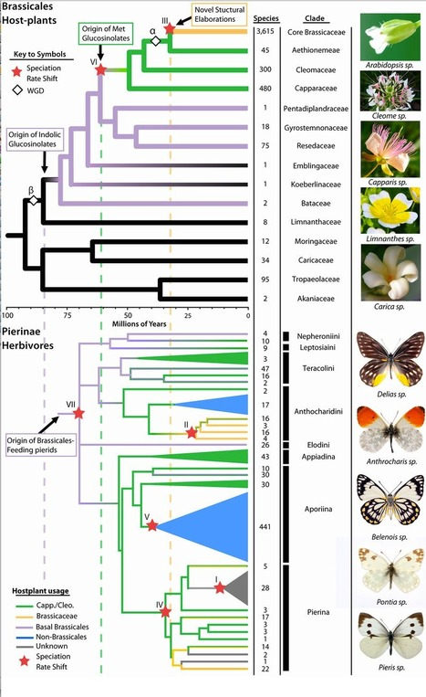 The butterfly plant arms-race has escalated through gene and genome duplications | Amazing Science | Scoop.it