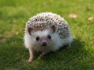 Hedgehogs linked to outbreak of rare salmonella infections | Minnesota Pet News | Scoop.it