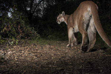 Phantom of the Forest: Could the Cougar Again Haunt Eastern U.S. Woodlands? | Conservation | Scoop.it