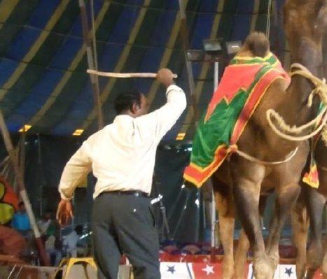 PETA Investigates Circus Abuse | Nature Animals humankind | Scoop.it