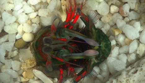 Mantis shrimp uses polarized light message for communication | Amazing Science | Scoop.it