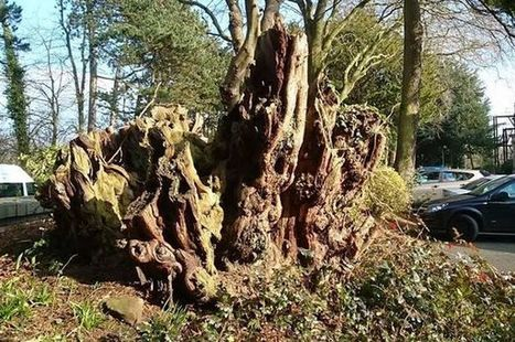 Outrage as 500-year-old Birmingham tree chopped down by health bosses   Workplace Health and Safety   Scoop.it