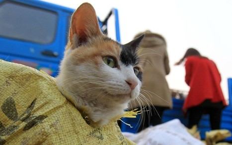 500 Chinese cats saved from the cooking pot | Quite Interesting News | Scoop.it