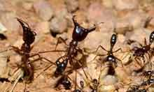Army Ants and Chimps Give Researchers Some Food for Thought | All About Ants | Scoop.it