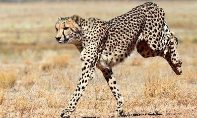 BBSRC funded: Cheetahs 'more powerful than a motorbike' | BBSRC News Coverage | Scoop.it