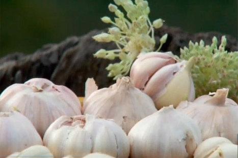 El ajo y sus bondades medicinales | Salud | Scoop.it