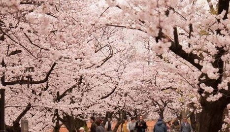 Japanese Cherry Blossom In Ueno Park Tokyo Travel | asia holidays destination picture | Beauty building, park, and city in asia | Scoop.it