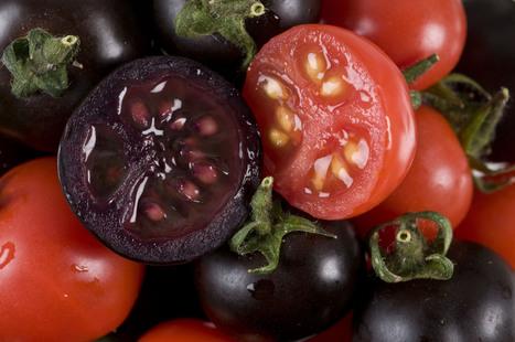 Nuevos tomates morados con las propiedades de los arándanos   Biotecnología Aplicada   Scoop.it