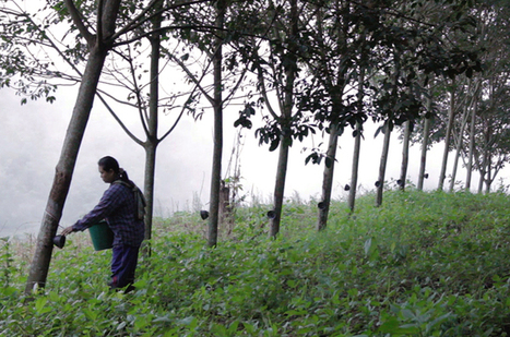 Drug addiction grows on Thai rubber farms | The Brain: Structures, Functions, and News | Scoop.it