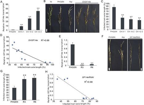 OsGF14e positively regulates panicle blast resistance in rice | Rice Blast | Scoop.it