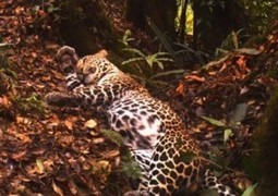 Camera Traps Capture Rare and Beautiful Javan Leopards - Wired (blog) | CLOVER ENTERPRISES ''THE ENTERTAINMENT OF CHOICE'' | Scoop.it