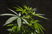 Researchers: Lower IQs Seen In Adults Who Smoked Pot As Teens - CBS Local   Drug Use in Adolescence   Scoop.it