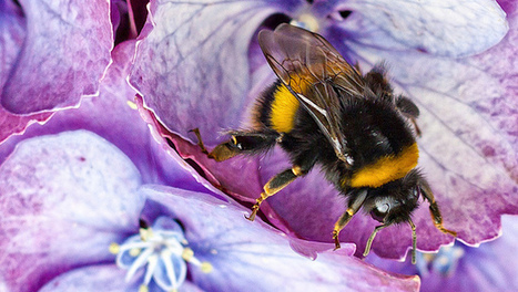 How to garden for bumblebees | Mother Nature Network | CALS in the News | Scoop.it