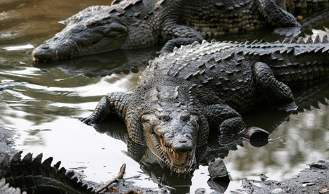 Crocodile Injured by Falling Accountant | Quite Interesting News | Scoop.it