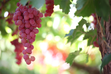Benefits of grape seed extracts: Blessings in Disguise? | Biotivia Longevity | Scoop.it