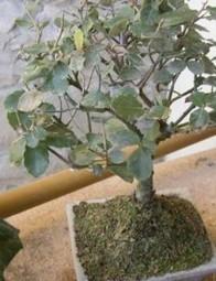 Come curare un bonsai ficus | Come Curare Un Bonsai | Scoop.it