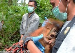 Orangutans rescued in Indonesia as more land is cleared for oil palms | Orangutan Land Trust | Scoop.it