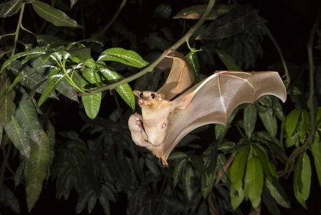 Why Bats Carrying Deadly Diseases Don't Get Sick - LiveScience.com | Bat Biology and Ecology | Scoop.it
