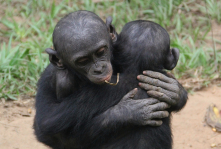 Sign of empathy: Bonobos comfort friends in distress | Empathy and Animals | Scoop.it