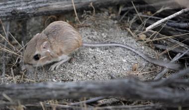 Kangaroo rat habitat costs SANBAG $13.3 million ($175k/acre) | Nature + Economics | Scoop.it