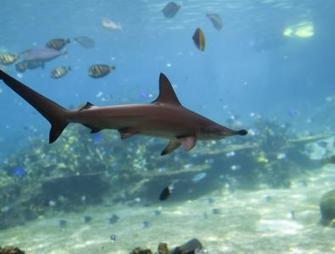 Critical Step for Sharks: The Sequel | Ocean News | Scoop.it