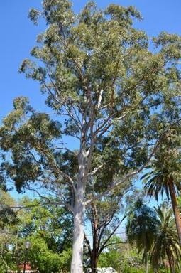 Tree shock: Research shows climate change hitting eucalypts | Sustain Our Earth | Scoop.it