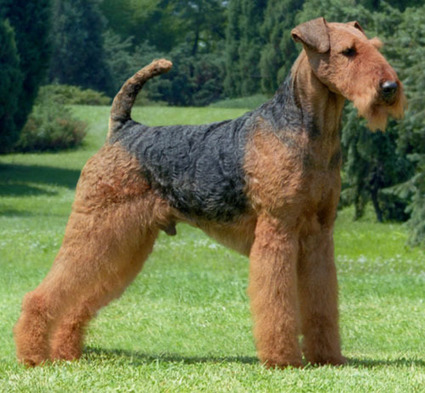 Do you know Airedales? | Airedale Terriers | Scoop.it