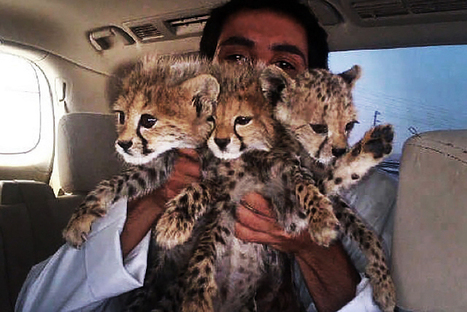 Cheetahs Are Being Wiped Out, and Selfies Are to Blame   Wildlife Trafficking: Who Does it? Allows it?   Scoop.it