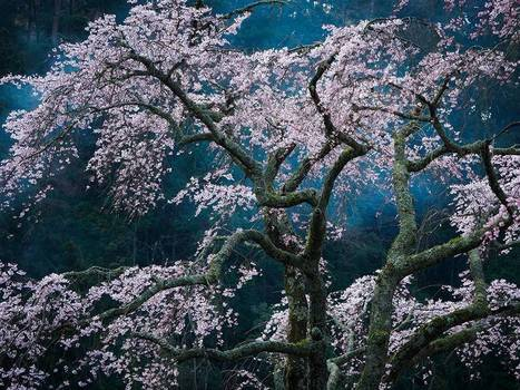 Cherry Blossoms Image, Japan | National Geographic Photo of the Day | Oya's Nature | Scoop.it