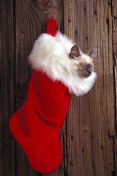 Les plus beaux chats de Noël | The Blog's Revue by OlivierSC | Scoop.it