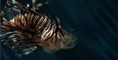 Hungry Lionfish Hunt in Packs - Scuba Dive Buzz | All about water, the oceans, environmental issues | Scoop.it