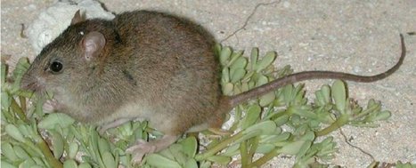 This is the first mammal to go extinct because of human-caused climate change | SciFrye | Scoop.it
