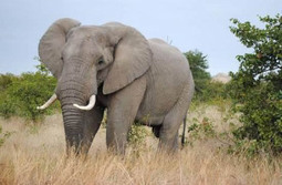 Feds seek near-total ban on ivory trade to protect elephants | Inequality, Poverty, and Corruption: Effects and Solutions | Scoop.it