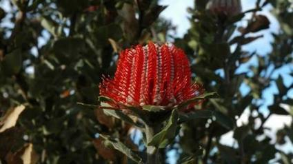 Banksias differ on resilience to climate change | Australian Plants on the Web | Scoop.it