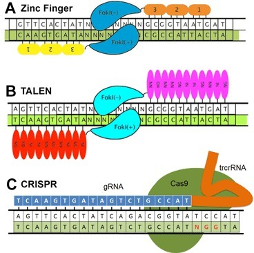 Truncated guide RNAs drastically improve specificity of CRISPR-Cas nucleases | Amazing Science | Scoop.it