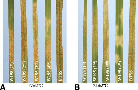Yr58: A New Stripe Rust Resistance Gene and Its Interaction with Yr46 for Enhanced Resistance | Phytopathology | Cereal and Biotrophic Pathogens | Scoop.it