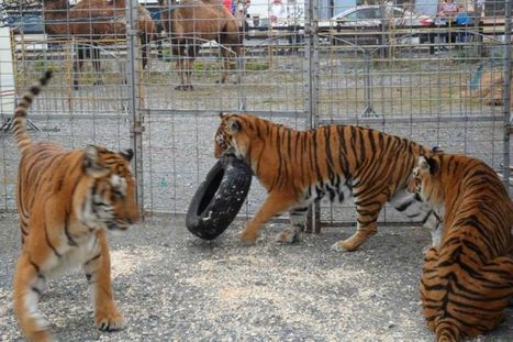 Outrage at circus tiger's tiny cages - Irish Mirror | Vegan going mainstream | Scoop.it
