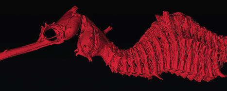 Meet a newly discovered aquatic species, the ruby seadragon - CNET | Bookyourdive | Scoop.it