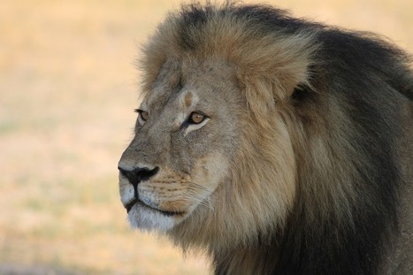 Internet Backlash Forces Killer Of Famous Lion To Close His Dental Practice | Nature Animals humankind | Scoop.it