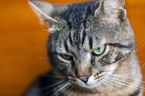 Así es el lenguaje corporal de los gatos | Bichos en Clase | Scoop.it