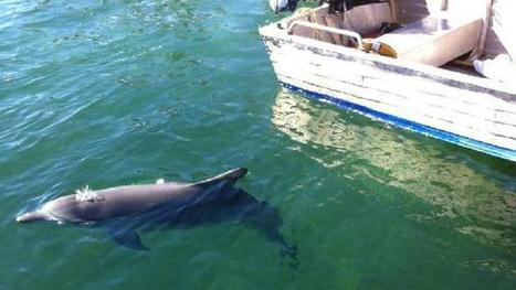 Lonely dolphin goes rogue, needs its family - The Daily Telegraph | Intrepid #Cove #Guardian @ManiNeptune | Scoop.it