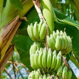 FreshFruitPortal.com » Philippines: Dry spell hits around 5% of banana production, says PBGEA | Climate & Clean Air Watch | Scoop.it