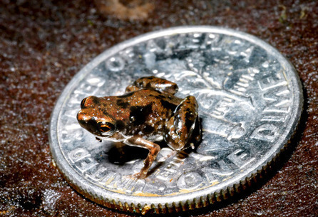 Futurity.org – Tiny and tinier: new frog species found | All about water, the oceans, environmental issues | Scoop.it