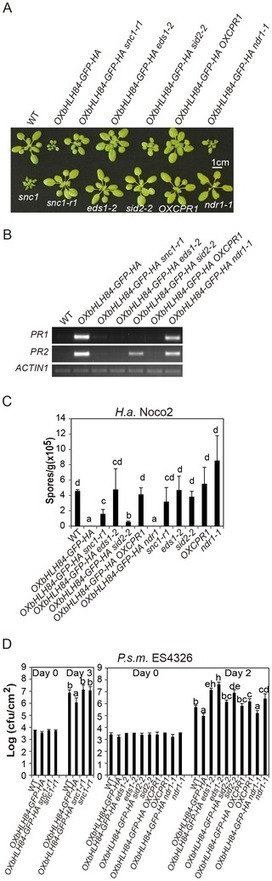 NLR-Associating Transcription Factor bHLH84 and Its Paralogs Function Redundantly in Plant Immunity   Interactions plante-pathogène plante-ravageur   Scoop.it